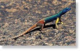 augrabies flat lizard  can survive longer by avoiding competition