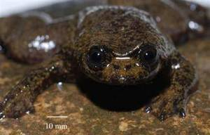 lungless frog