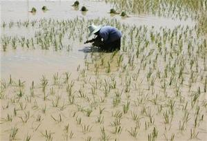 farmer plants rice sprouts