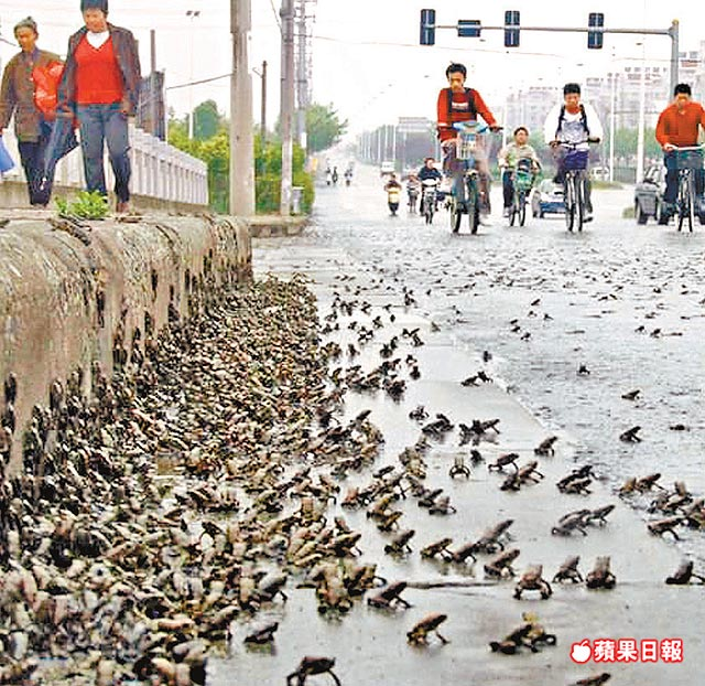 Frog Migration: Omen to China Earthquake Disaster