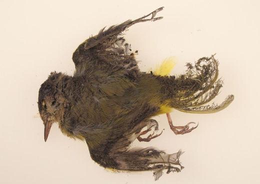 burned MacGillivray's Warbler