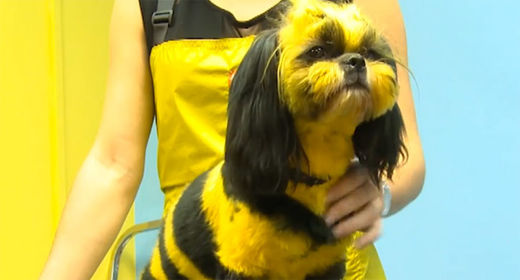 Russian groomers turn ordinary animals into fantastical creatures: dragon-cats and bee-dogs
