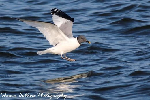 Rare Arctic Sabine's gull turns up in Pymatuning State Park, Ohio