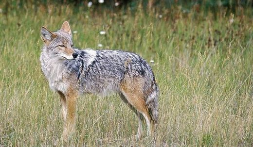 Deadly coyotes spread across U.S. suburbs killing family pets