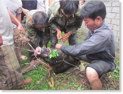 Wild Boar Attacks Human Wild boar and pig atta...