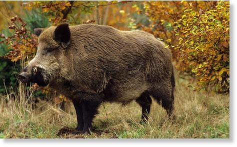 Wild Boar Attacks Human Wild boar attacks man ...