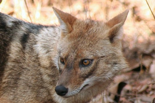 Demented jackal attacks devotees inside temple severely injuring 3, India