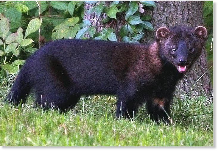 GoLocalProv | NEW: Foster Farm Attacked by Vicious Fisher Cat