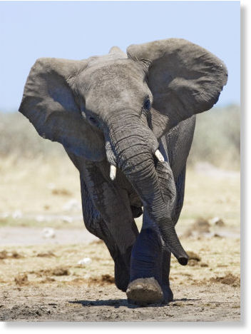 Two year old girl and adult seriously injured in kenya by elephant attack earth changes - Image elephant ...