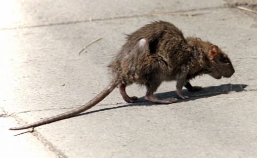 Baby awaits surgery after rat attack in South Africa