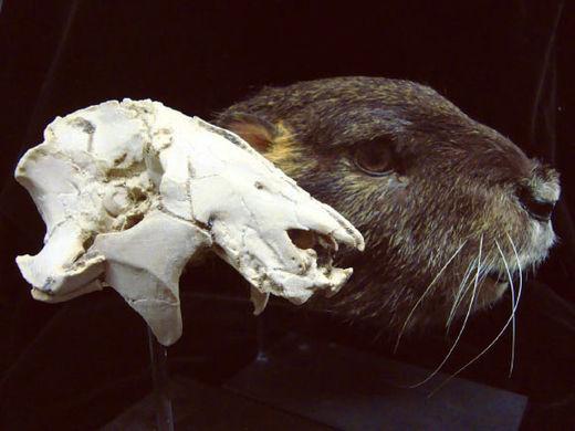 skull vintana sertichi