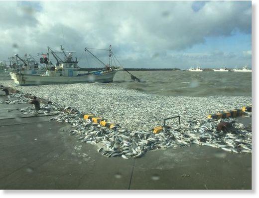 http://www.sott.net/image/s10/214701/large/2_Numerous_sardines_washed_ash.jpg