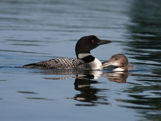 Prompted by frigid temperatures, early Loon migration underway