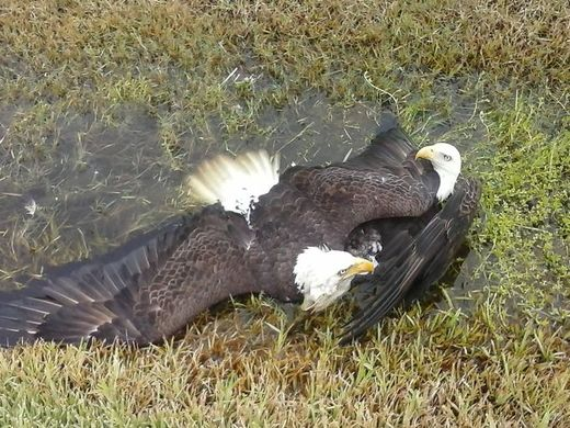 Symbolic? 2 bald eagles crash to ground after mid-air battle in Sarasota, Florida