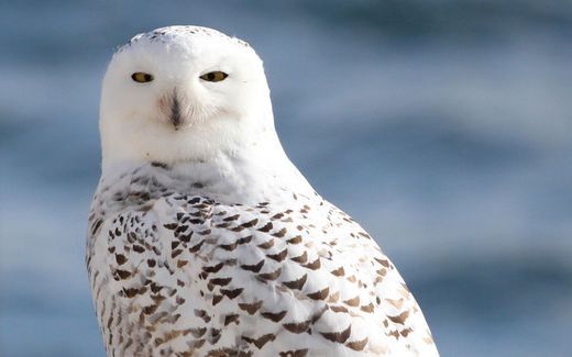 An Ice Age indicator? Unusually high number of snowy owls migrate early to Wisconsin