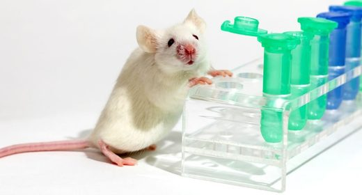 White lab mice