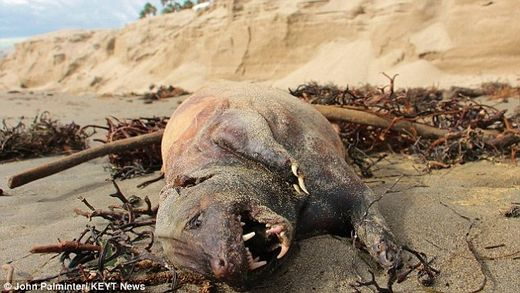 Strange hairless creature washes up dead on California beach