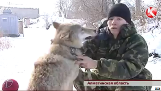 Villagers in Kazakhstan use 'guard wolves' for protection