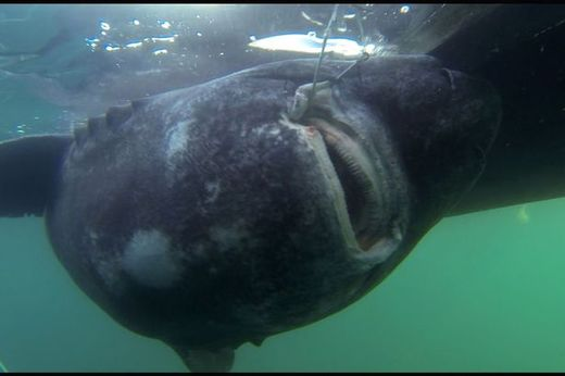Angler hooks 89 STONE greenland shark setting new world record for biggest fish caught on a rod