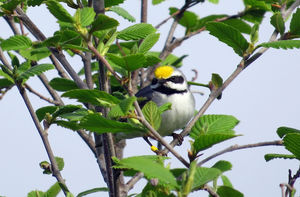 golden wing warbler predict disaster