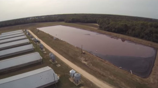 Flying pigsh*t! Drone catches Smithfield pork farms spraying animal waste into air