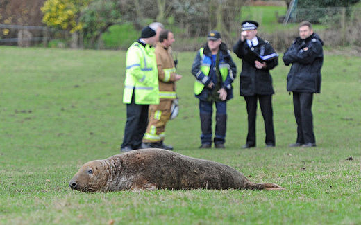 Seal found 20 miles inland near St Helens, UK