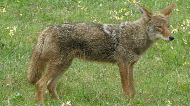 Coyote attacks two residents in Groveland, MA -- Earth Changes -- Sott ...