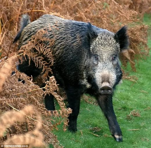 boars cause highway crash