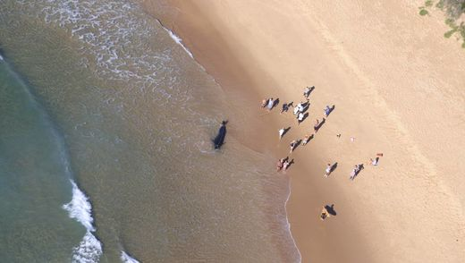 Dead pilot whale washed ashore at Fairy Meadow, Australia