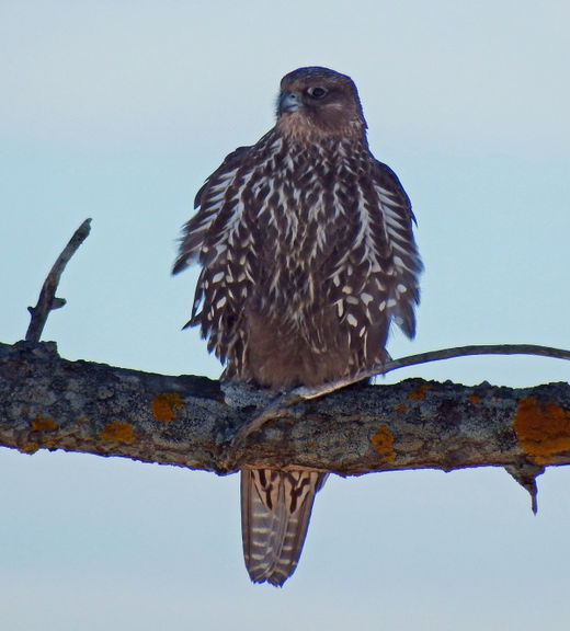 Rare Arctic gyrfalcon found in Wells Harbor, Maine