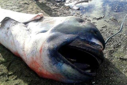 Rare megamouth shark washes up in the Philippines