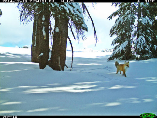 Rare Sierra Nevada red fox spotted for the first time since 1916