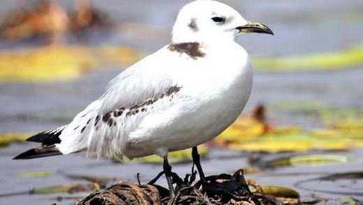 Gull from northern oceans turns up for the first time in Odisha, India