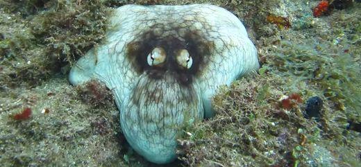 octopus, camoflauge