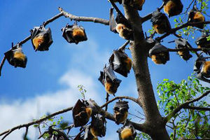 bats hanging in tree