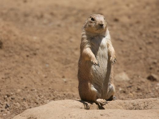 Researcher decodes prairie dog language, discovers they've been talking about us