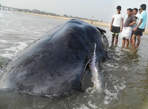 Dead whale found washed ashore on Indian coast