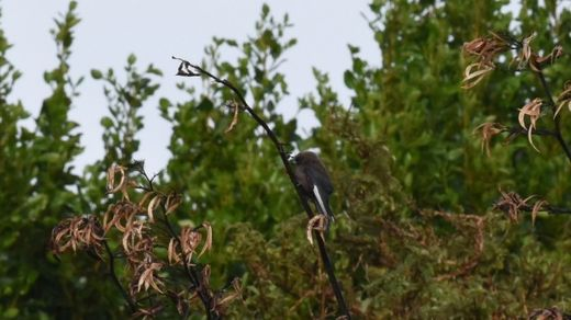 Dusky woodswallow seen for the first time in New Zealand