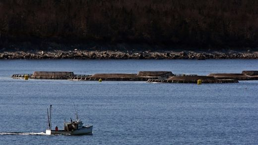 Nova Scotia aquaculture salmon killed by superchill