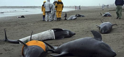 Japan scientist: 'Never seen this before', white lungs found in dolphins that died during mass stranding near Fukushima
