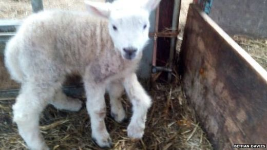 Portents and signs: 5-legged lamb born in Wales