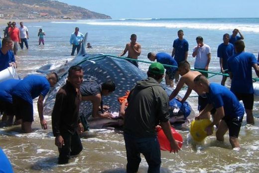 Whale shark strands on beach in Ecuador