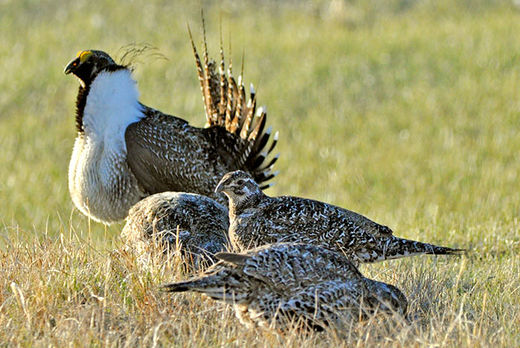 Population of greater sage-grouse breeding males have declined by 56 percent