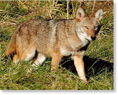 Woman rescues 3-year-old girl from coyote attack in Irvine ...