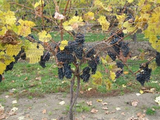 Southern Ontario vineyards damaged by late brutal cold weather