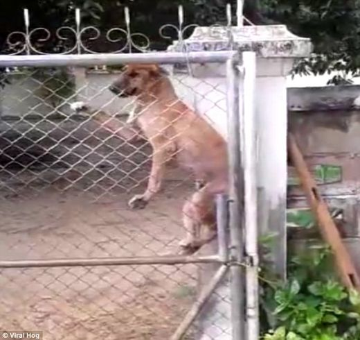 Jailbreak! Owners catch their dog carefully climbing a 6ft chain-link gate