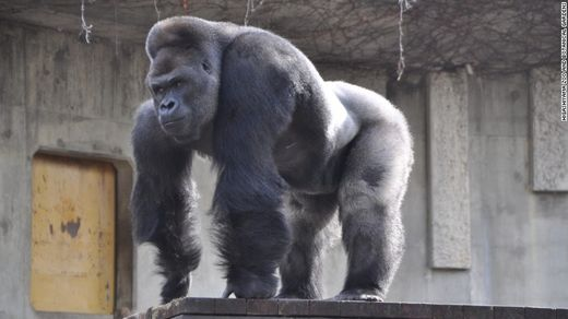 'Handsome' gorilla stealing women's hearts in Japan
