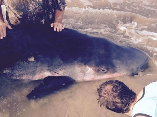 Sick pygmy whale dies following stranding on Surfside Beach, Texas