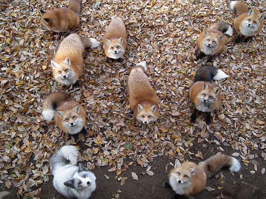 Cuteness overload: Fox Village is home to 200 playful wild foxes