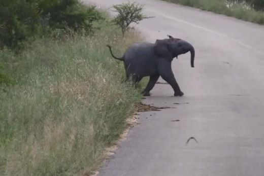 Baby elephant chases swallows over South African road